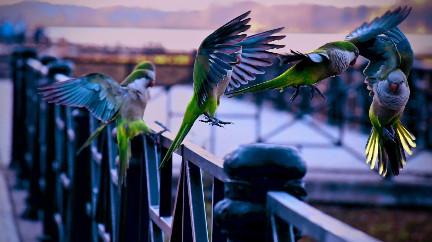 Photo of parakeets